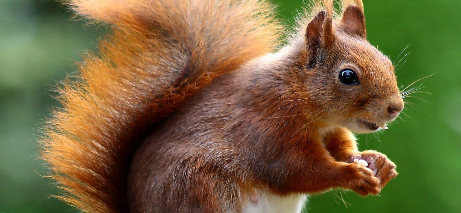 Un écureuil dans mon jardin